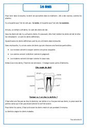 Dents - Cours, Leçon - Corps humain : 2eme Primaire